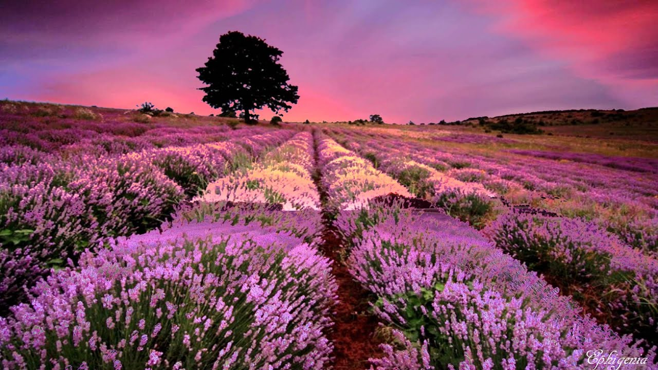 The Most Instagram Worthy Flower Fields - Lavender Fields Provence