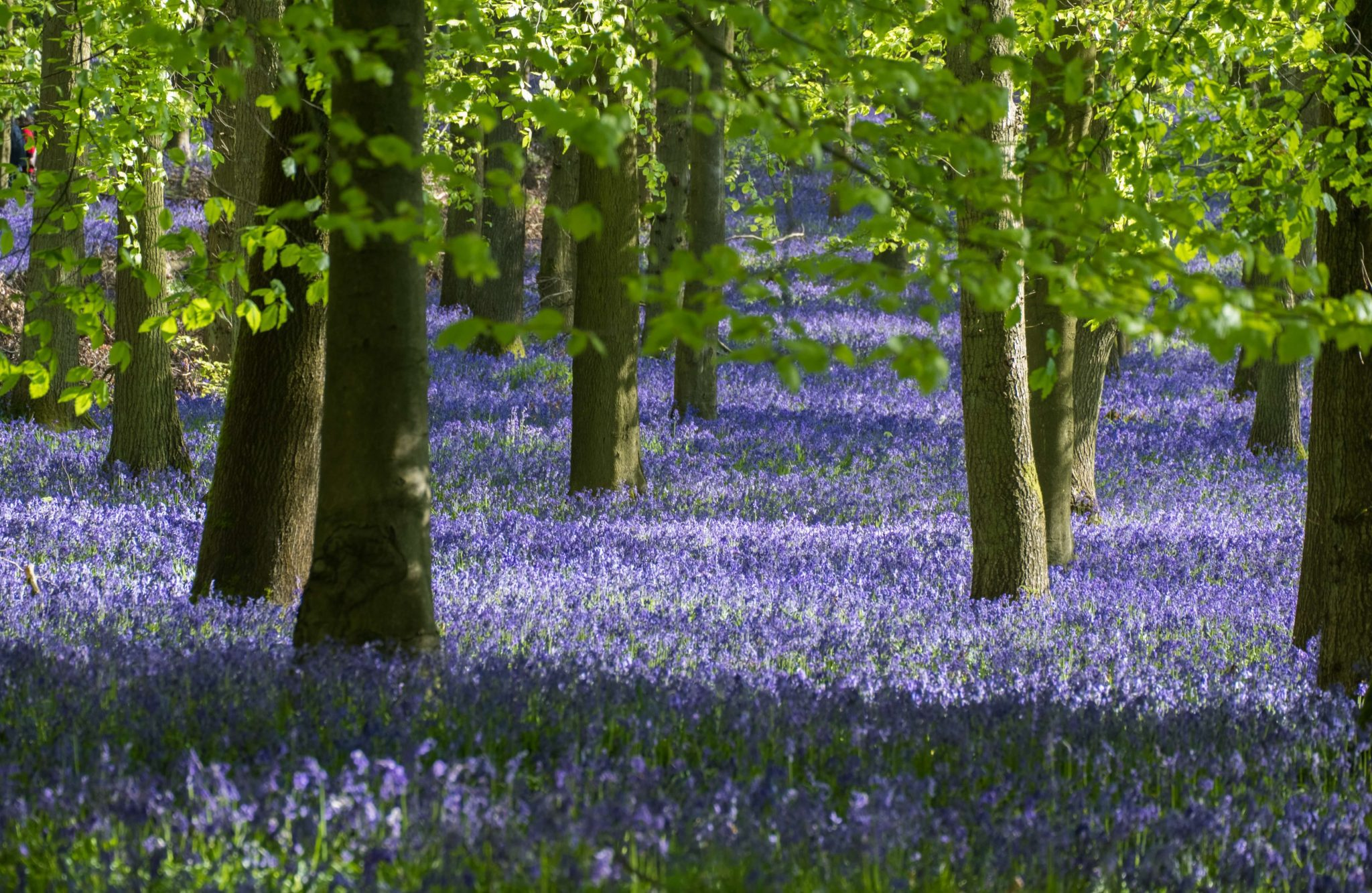 Bluebell Woods. UK