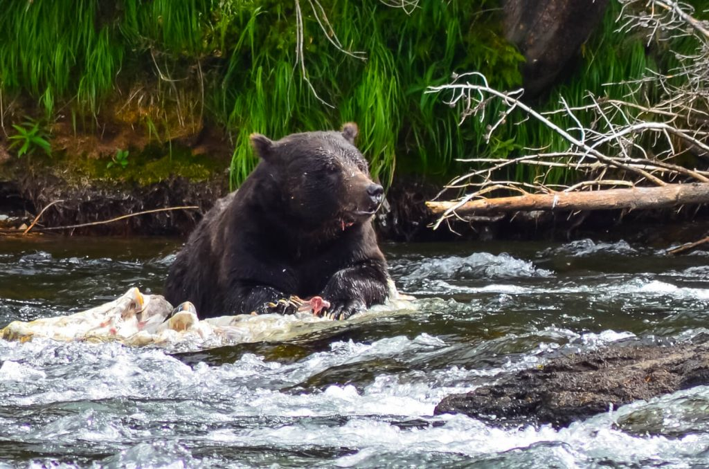 A bear hunting in Yellowstone National Park, a place on everyone's USA outdoor bucket list